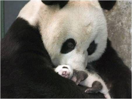 Osa panda con su recién nacido