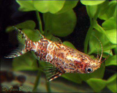 Premium Wild Upside Down Catfish Synodontis Nigriventris Upside Down Catfish Goldfish For Sale Tropical Fish