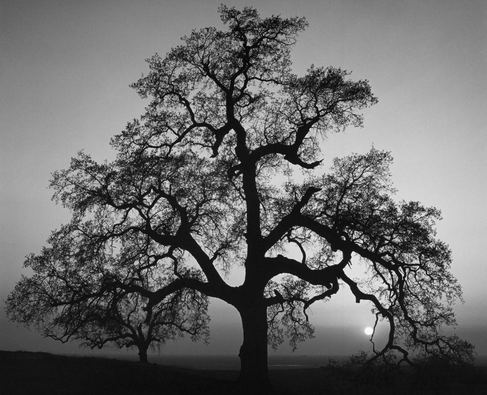 Oak Tree Sunset City California 1962 By Ansel Adams Ideias