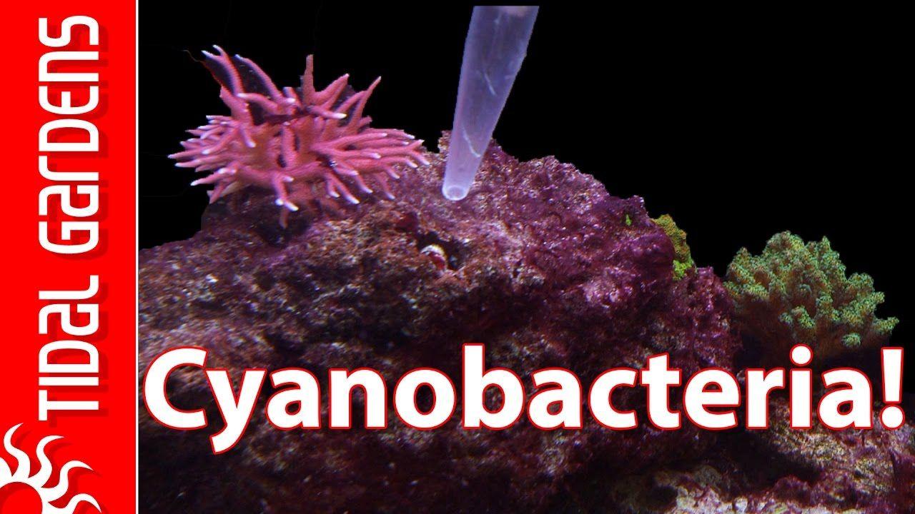 How To Get Rid Of Cyanobacteria Red Slime Algae Red Slime Easy Jam Reef Tank