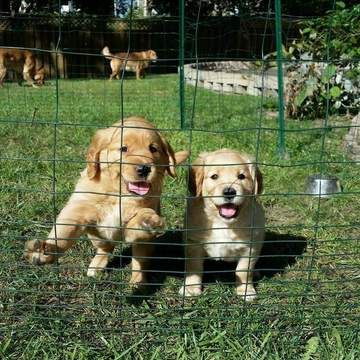 Golden Retriever Puppy For Sale In Kansas City Mo Adn 21494 On