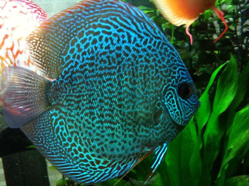Snakeskin Discus Fish Discus Fish Tropical Freshwater Fish Fish
