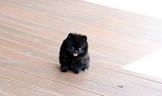 DED.  DED FROM TEH CUTE - black teacup pomeranian puppy for sale #pomeranianhaircut #teacuppomeranianpuppy