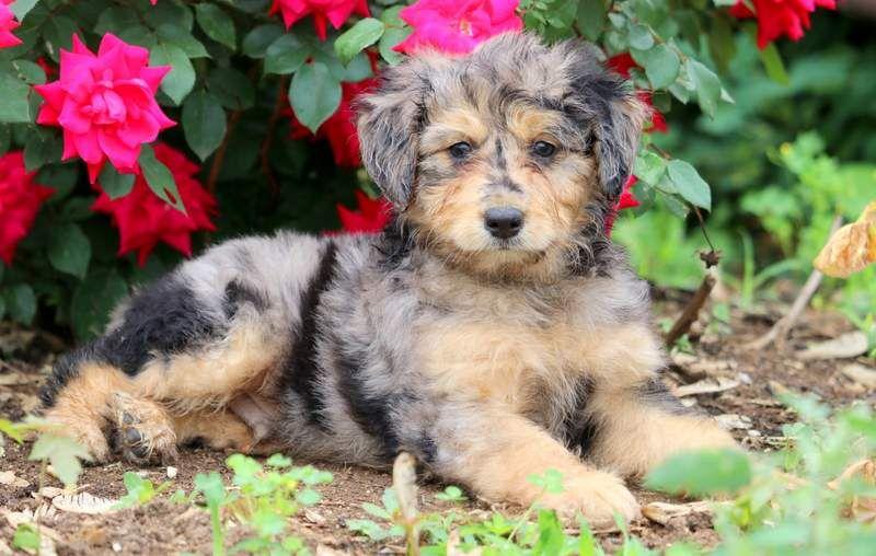 Macho Mini Aussiedoodle Puppies Puppies Mini Puppies Dog