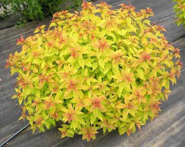 "spiraea gold flame FERTILIZE WITH 2"" ORGANIC MULCH"