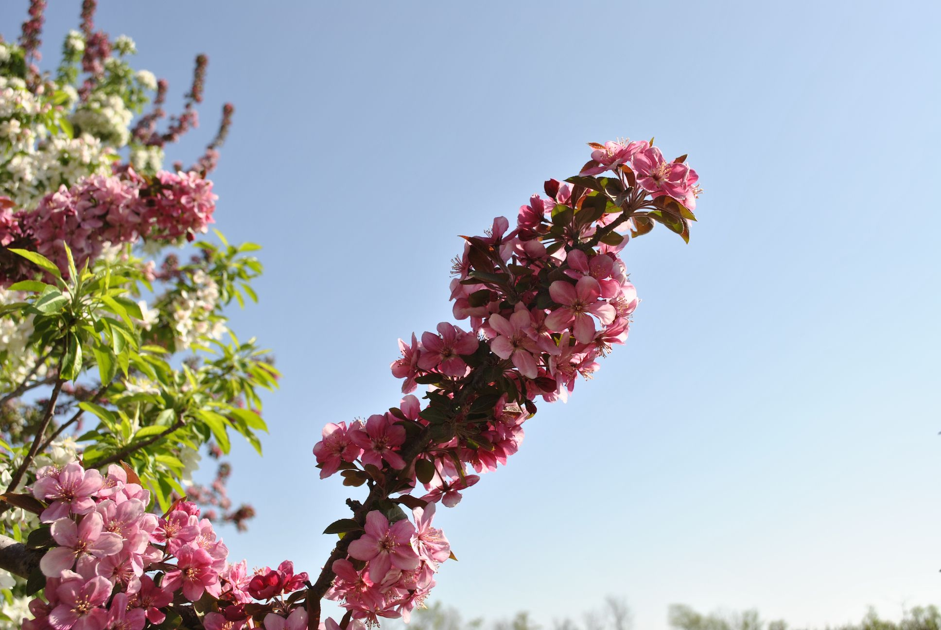 Crabapples In Bloom Starkbros Berry Plants Fruit Trees Spring Flowers