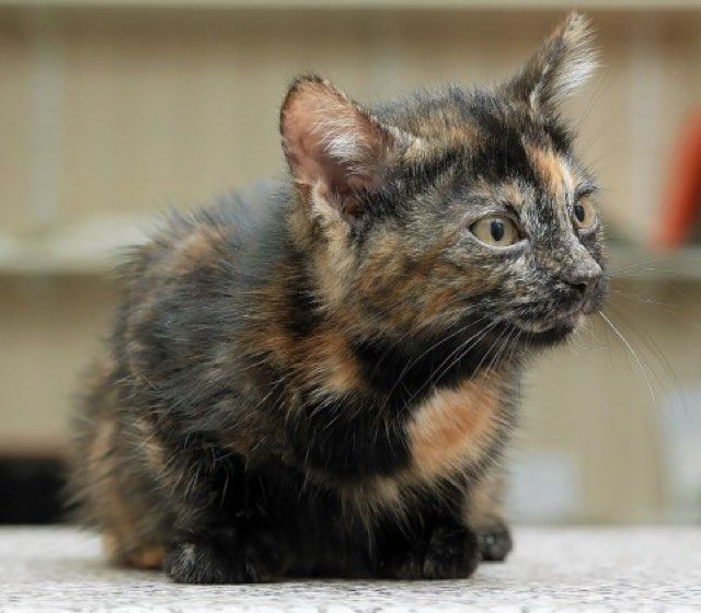 Harry Rare Male Tortie Tortoiseshells Cat Lothian Cat Rescue Beautiful Cats Cats Cats And Kittens