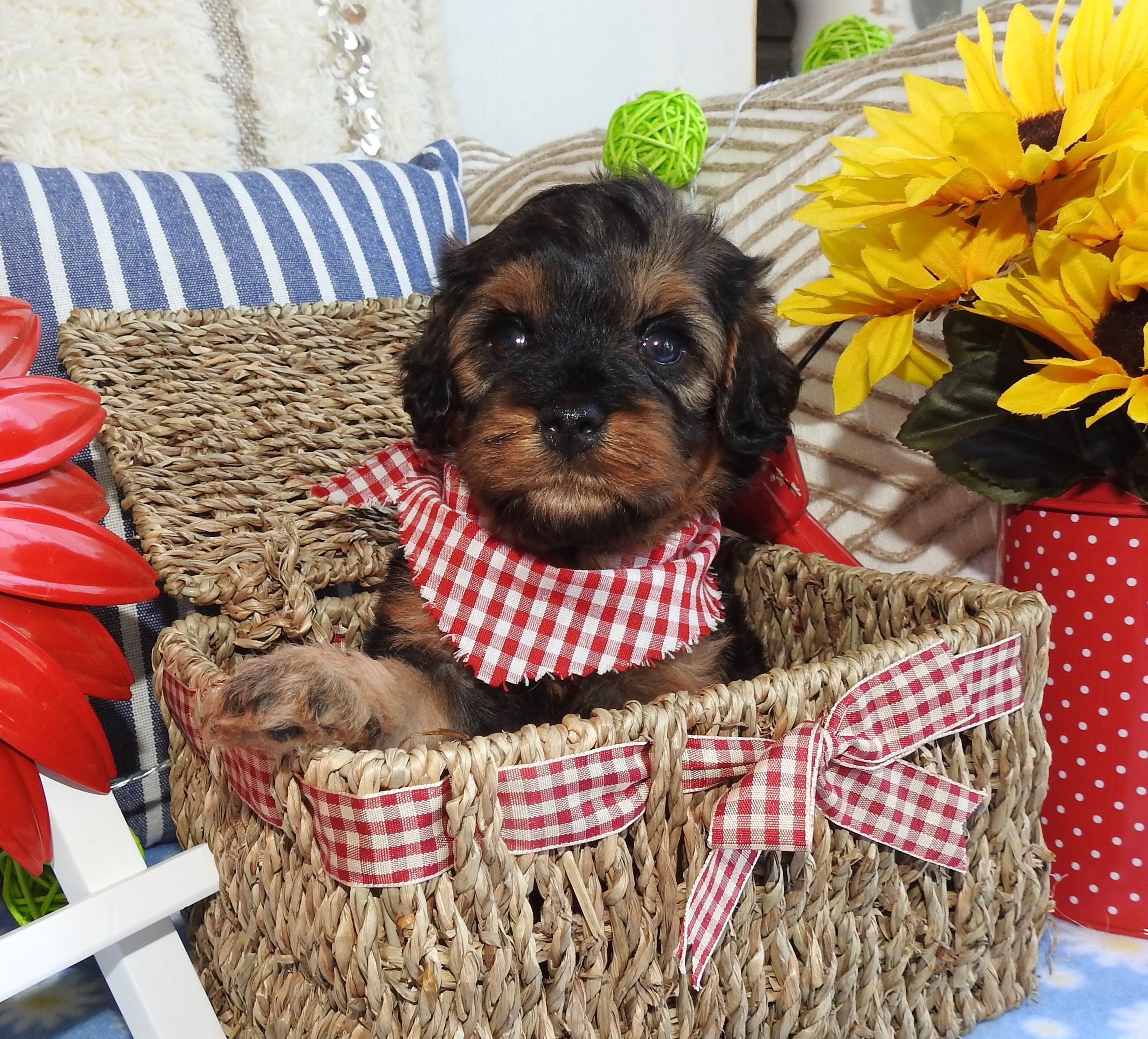 Available Adopt Cavapoo Cavapoos R Us Puppy Dog Babies Baby Cute