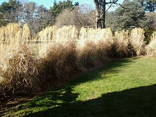 Golden wheat at Planting Fields in Oyster Bay