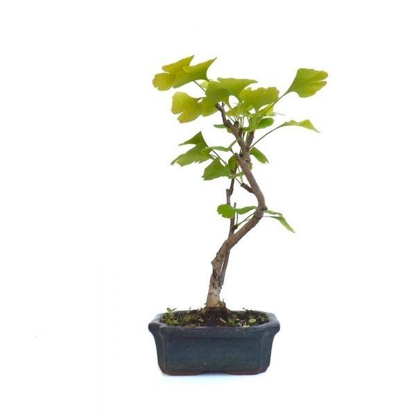 vente en ligne de bonsai gingko biloba abricotier d 39 argent 30 cm gk140901 sankaly bonsa. Black Bedroom Furniture Sets. Home Design Ideas