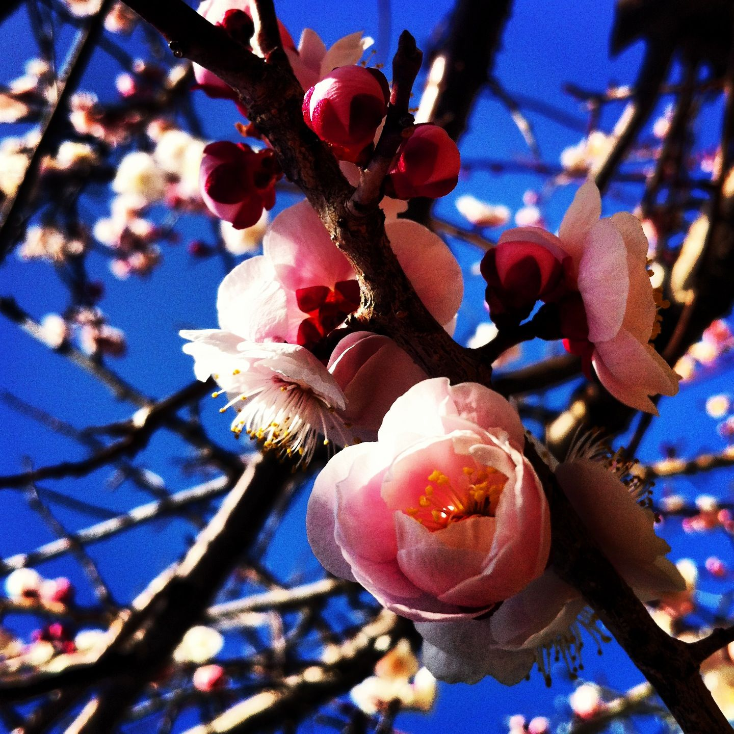Ume blossoms are beautiful this time if year in Hiroshima, Japan #flowers