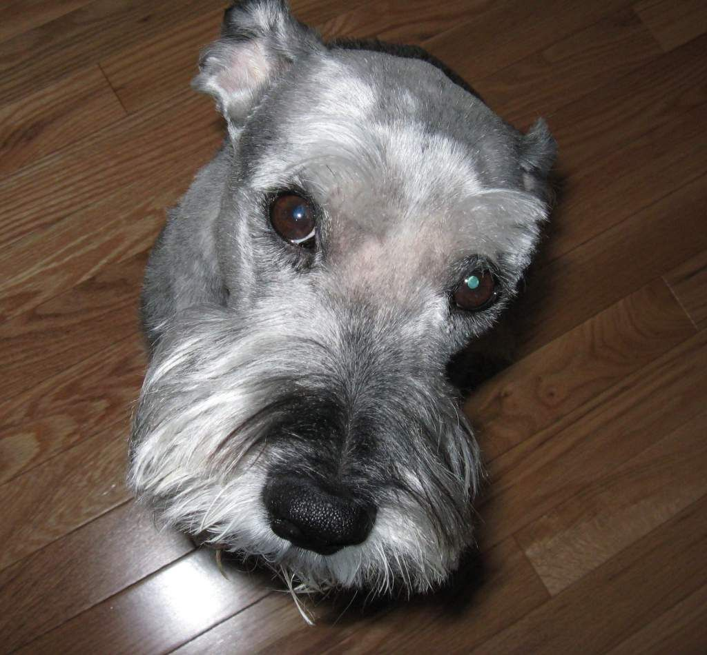 Our 15 Year Old Standard Schnauzer Bailey She Has A Heart Of Gold Miniature Schnauzer Schnauzer Puppy Miniature Schnauzer Puppies