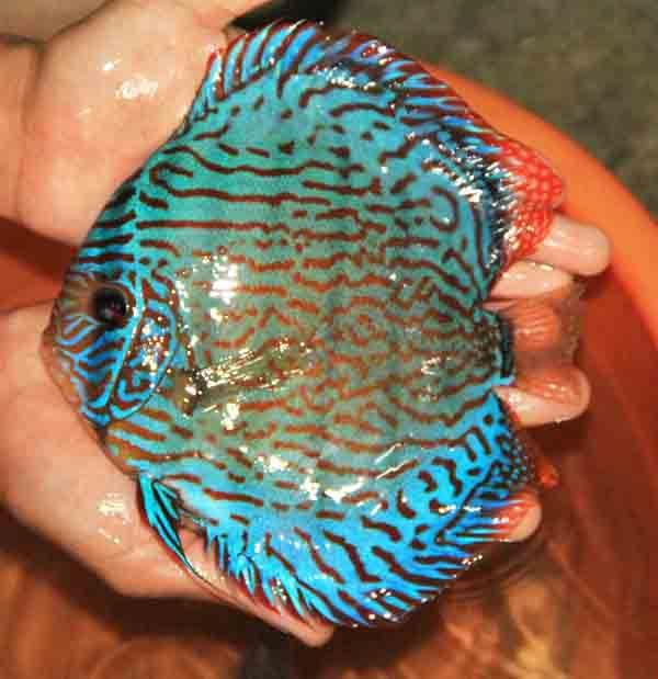 Facebook Tropical Fish Aquarium Discus Fish Tropical Freshwater Fish