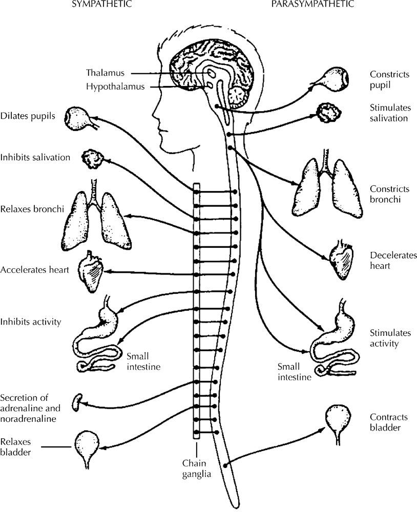 nervous system coloring pages free - photo#1