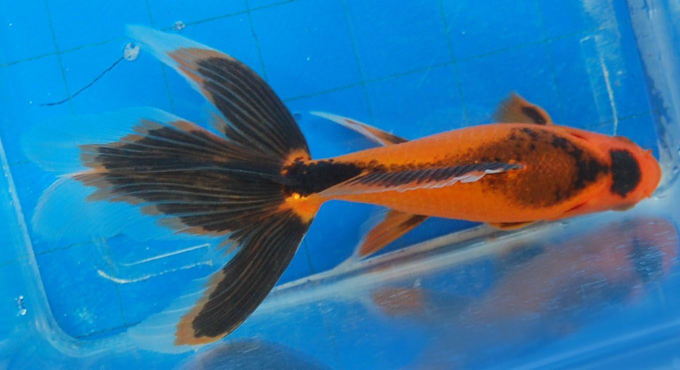 Goldfish Wonderful Watonai Beautiful Fish Goldfish Aquarium Fish
