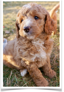 Red White Australian Goldendoodle Outside Playing With His