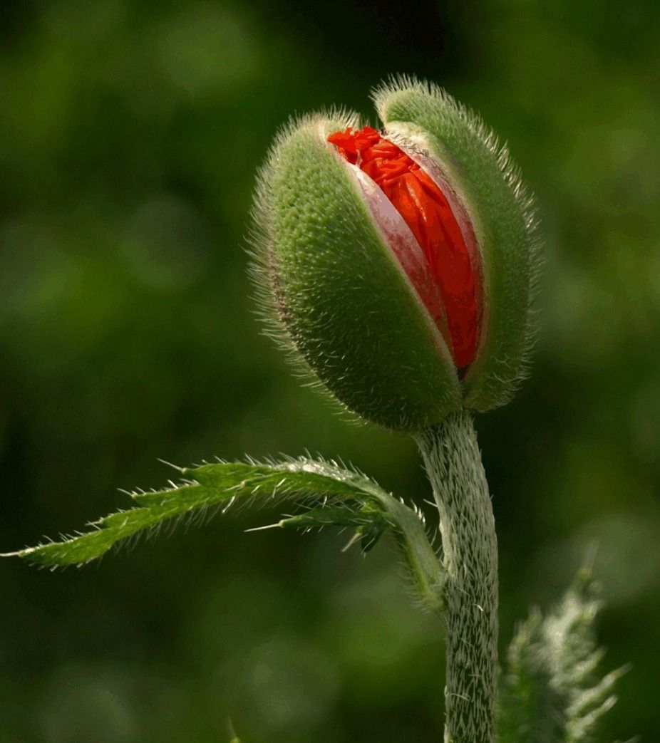 Valmue Flowers Pinterest Poppies Red Poppies And Flowers