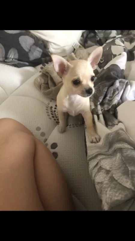 Female Chihuahua Pure Pred Dogs Puppies Gumtree Australia Brisbane South West Calamvale 1234718578 Dogs And Puppies Chihuahua Dogs