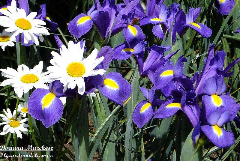 Iris e Margherite