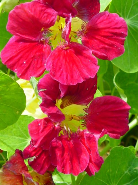 grande capucine rose tropaeolum majus cherry rose nasturtium dwarf jewel burgundy plante. Black Bedroom Furniture Sets. Home Design Ideas