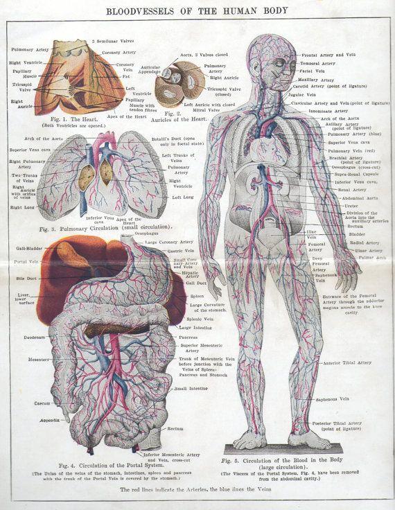 1940s vintage Human Body blood vessels