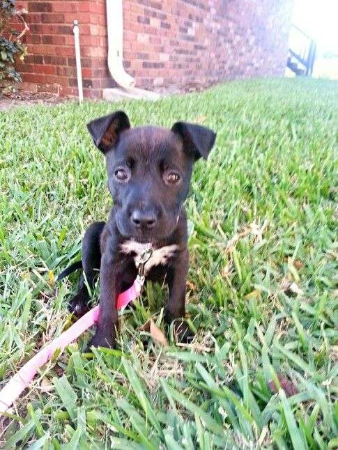 German Shepherd And Pitbull Mix 9 Week Old Puppy Cute Female Puppy