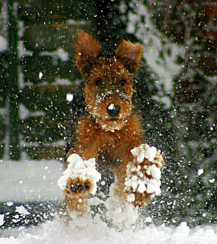 Airedale Terrier... I...Love....Snow!