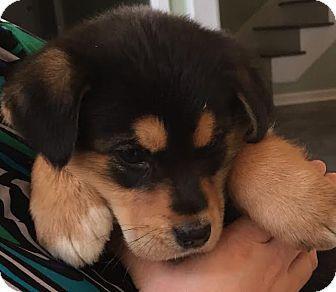 2/10/16 HARRISBURG, PA - Bernese Mountain Dog/Shepherd (Unknown Type) Mix. Meet Carson, a puppy for adoption. http://www.adoptapet.com/pet/14885205-harrisburg-pennsylvania-bernese-mountain-dog-mix