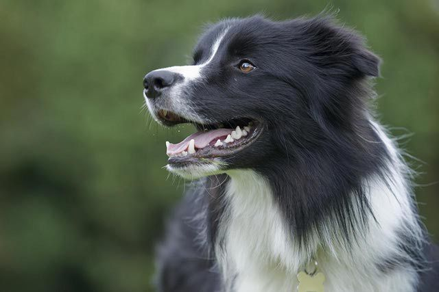 Border Collies Are One Of The Smartest Dog Breeds Smartest Dog