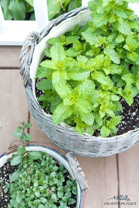 9 Good Reasons To Grow A Mint Plant Container Herb