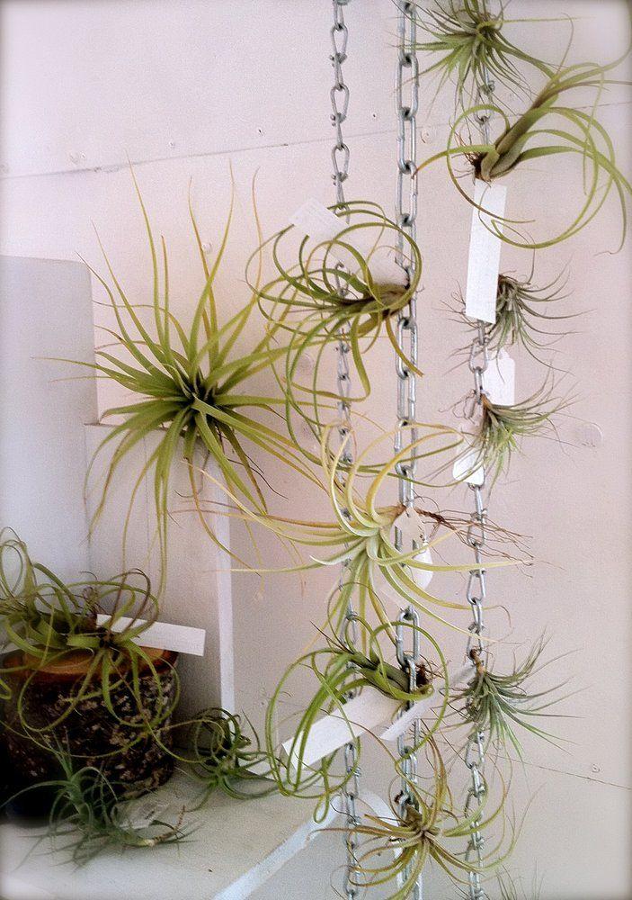 Tillandsias (aka plantas de aire) de todas las formas