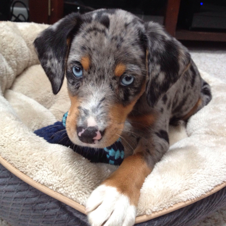 The Beagle Friendly Loyal And Loving Beagle Puppy Beagle Mix