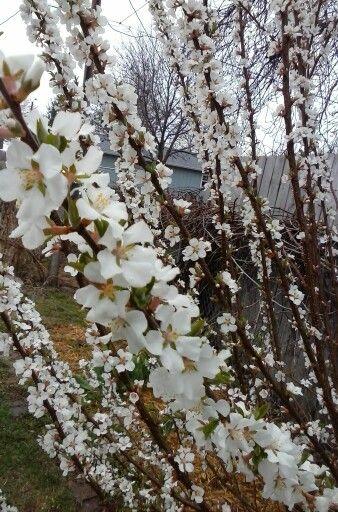 White Cherry Blossom Bush Third Year No Fruit Yet White Cherry Blossom Plum Tree Flower Garden
