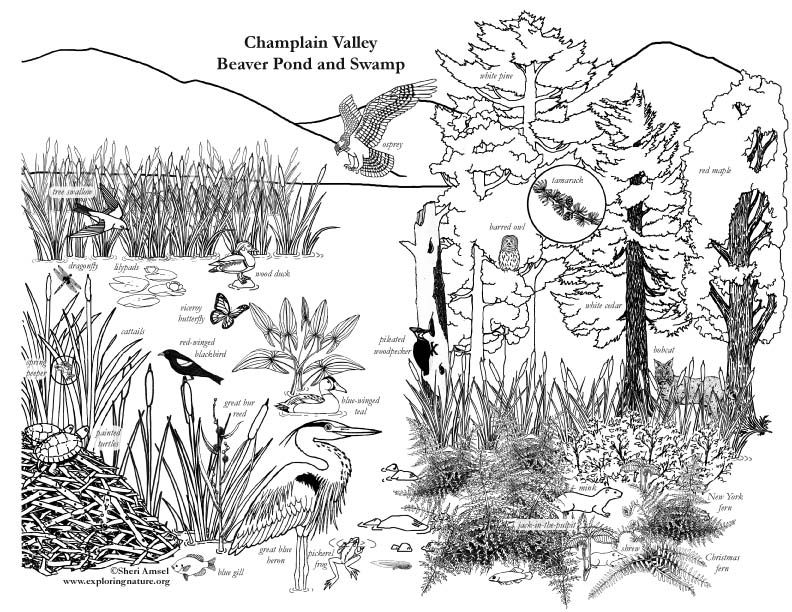 Image Result For Lakes And Ponds Coloring Page Wetland Animal Habitats Coloring Pages