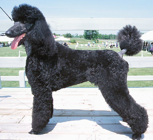 Standard Poodle Little Shedding Calmer And Better