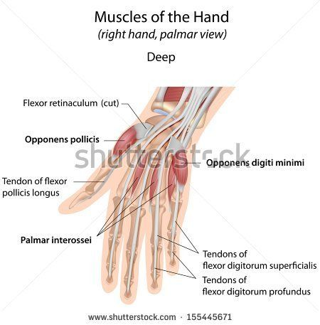 Hand Muscles Palm Deep Labeled Muscular System Muscle Muscular