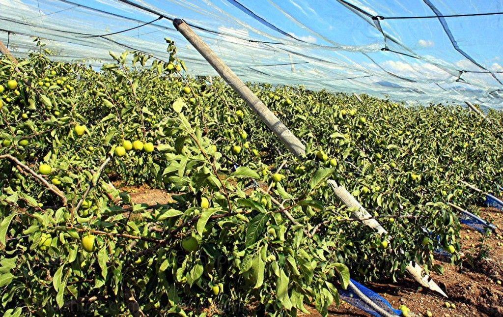 D 233 Gats Orage Sur Palissage Haie Fruiti 232 Re Pommier Jardinagem