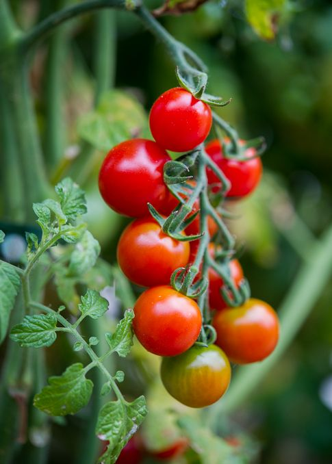 Welcome Summer Share Your Favorite Tomato Recipes Tomato Garden Tomato Tomato Recipes