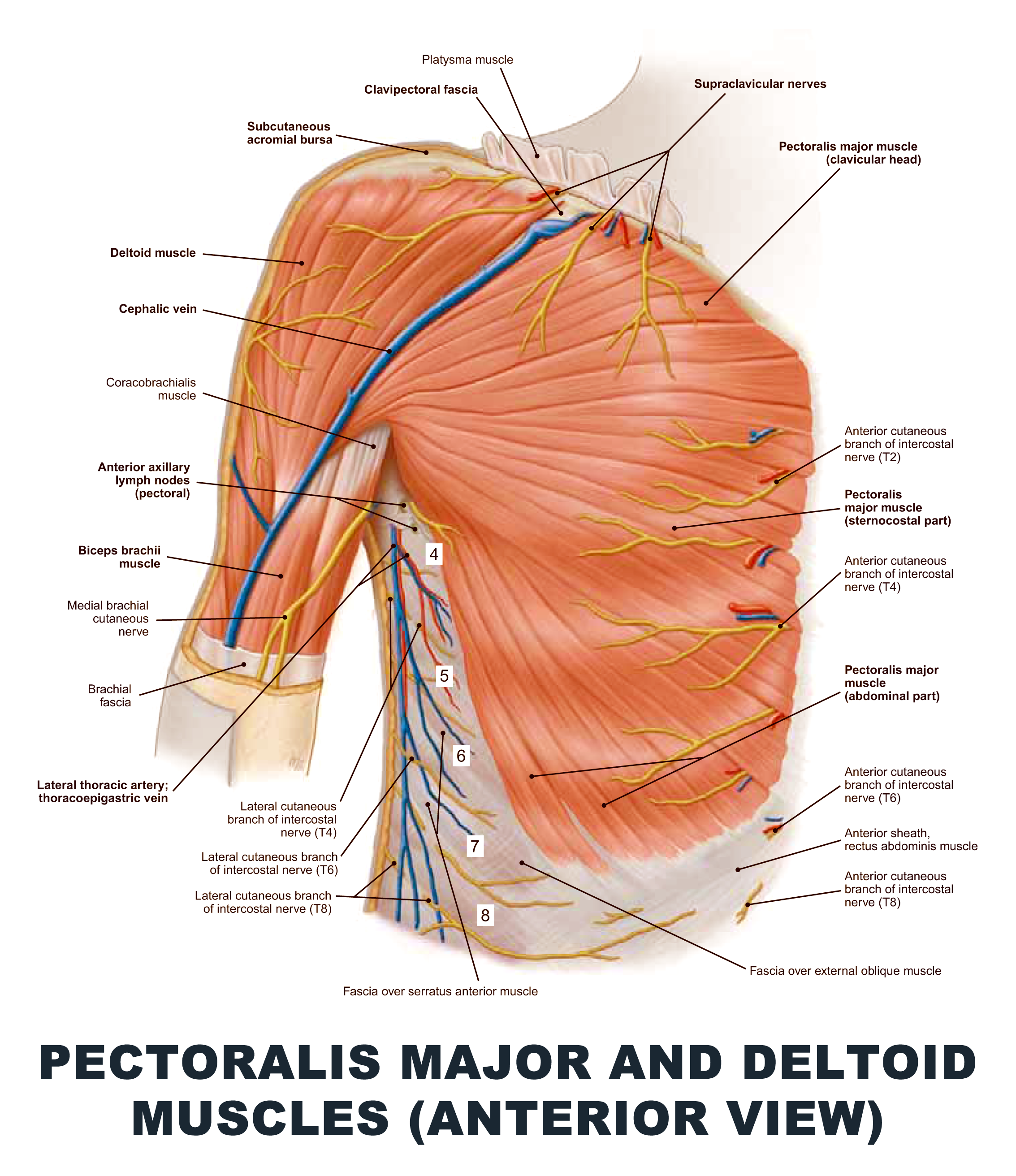 Pectoralis Major and Deltoid Muscles (Anterior View) - #anatomy ...