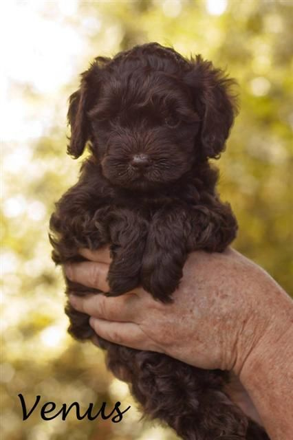 Cute Puppies Australian Labradoodle Labradoodle Puppy Puppies