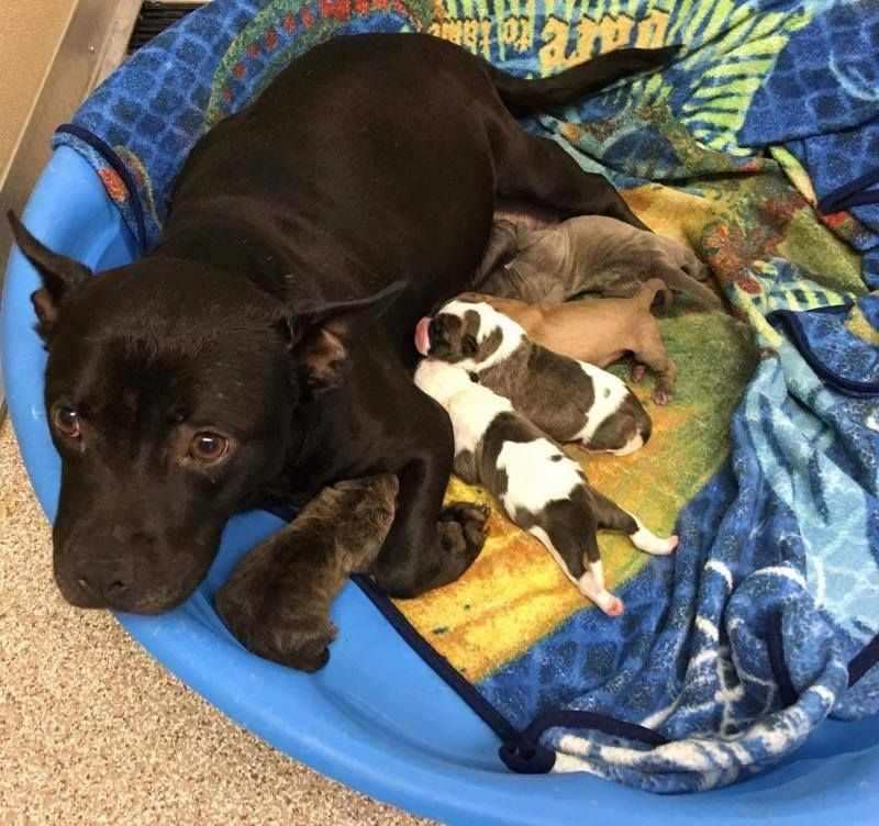 PLEASE HELP THIS POOR MUM & HER 5 NEWBORN PUPPIES, SHE IS IN THEE WORST SHELTER, NO ADOPTIONS ALLOWED, THEY GET KILLED OR THEY NEED TO BE RESCUED, NO OTHER WAY OUT OF THIS CRUEL PLACE, THEY HAVE NO CHANCE, JUST $10 PLEDGES MACON GA IN NEED OF IMMEDIATE RESCUE.THE FORGOTTEN ONES Mom is a small girl approx 45 pounds.Bull Mix. Baby's are less than a week old. https://www.facebook.com/photo.php?fbid=1811729452378920&set=a.1790501251168407.1073741859.100006256487042&type=3&theater