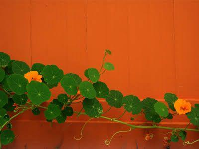 nasturtium plant in pot - Google Search
