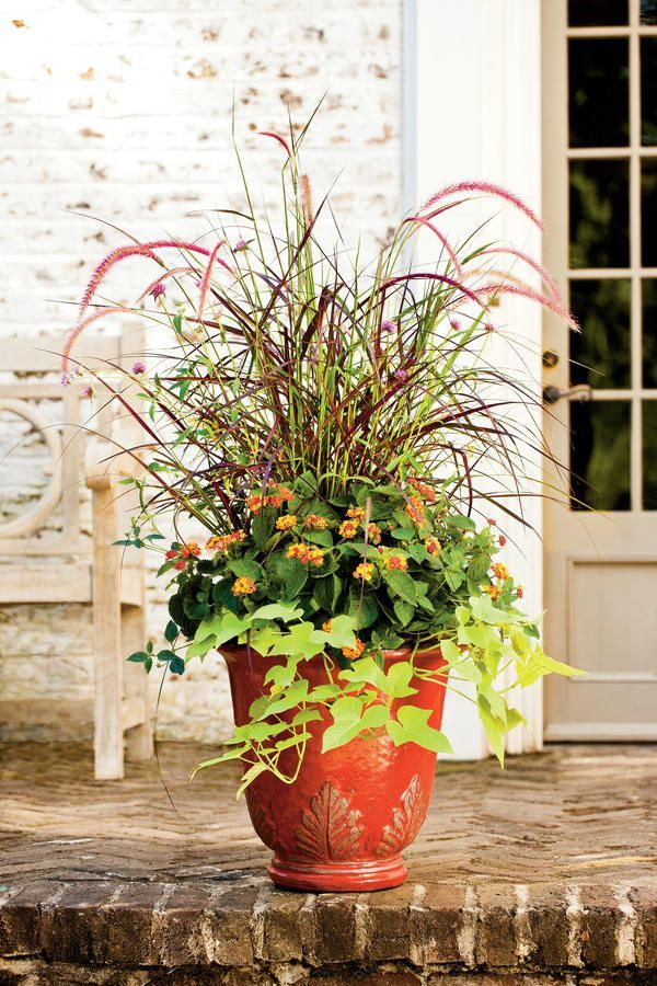 The plumes of eye-catching purple fountain grass become more numerous as fall nears. Flank it with another explosive favorite, 'Fireworks' gomphrena, which is g