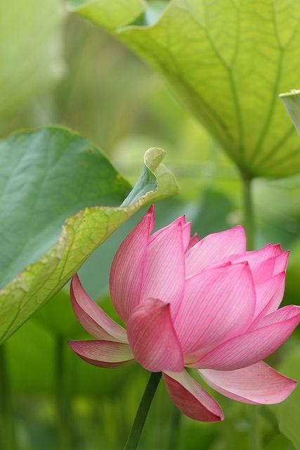 a lotus flower