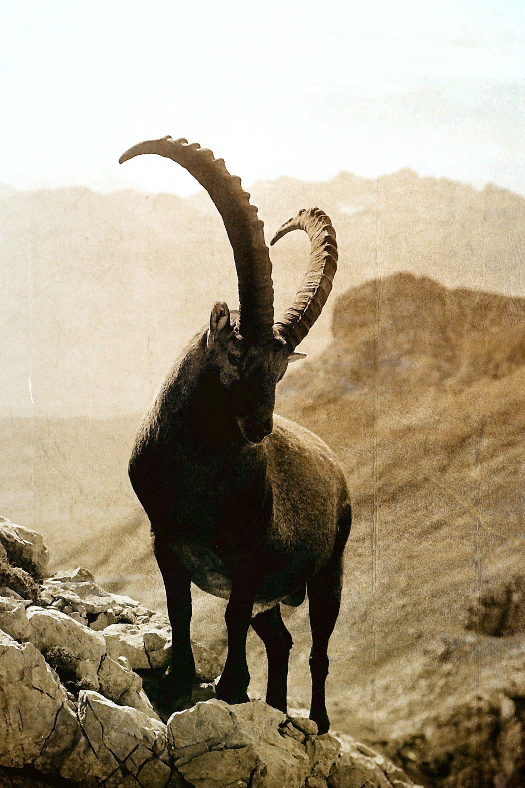 Pin by Tony Borgia on mountain goat   Hooved animal, Majestic animals,  Animals wild