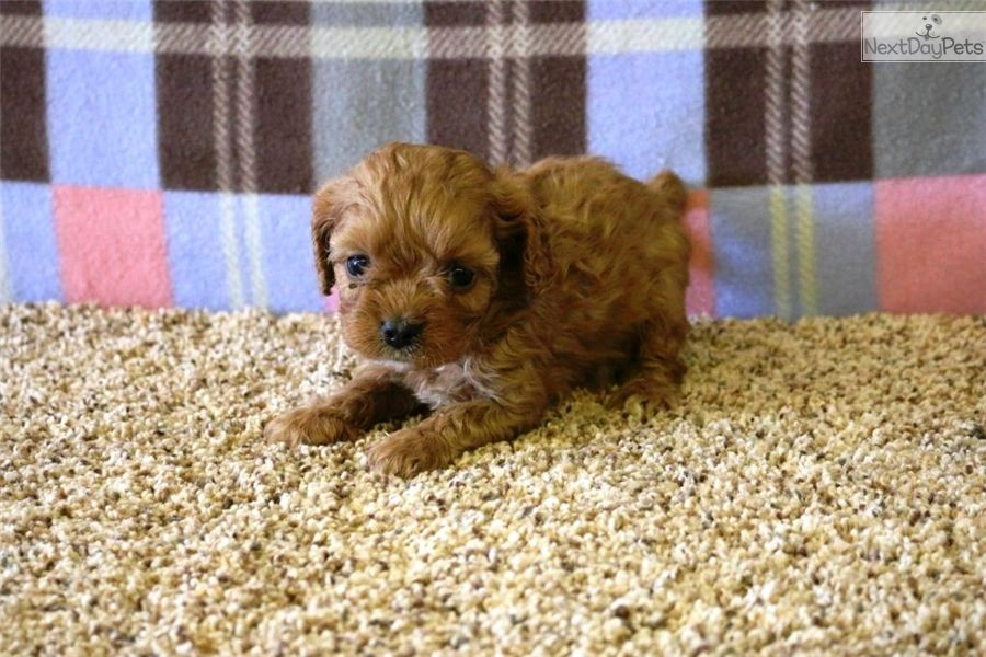 Cavapoo Puppy For Sale Near West Palm Beach Florida Ed742cf8