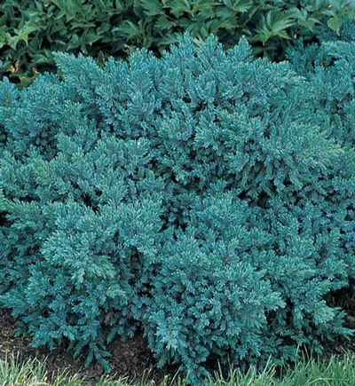 Explore Juniperus Squamata Shade Garden And More