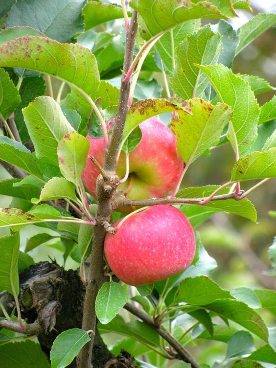 Apples Pink Lady Apple Garden Apple Apple Tree