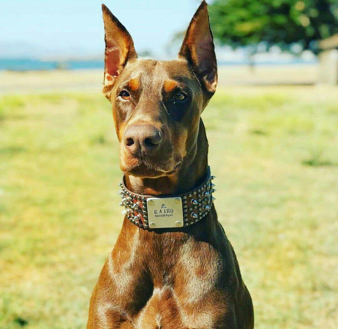Bat Ears Doberman Pinscher Doberman Pinscher Dog Dog People