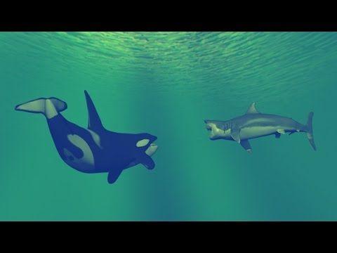 Killer Whale vs Great White Shark (National Geographic